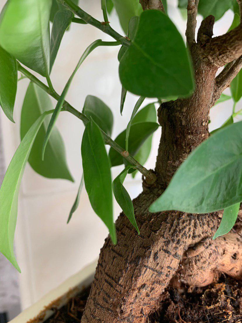 Mi primer bonsai - Ficus ginseng Photo_13