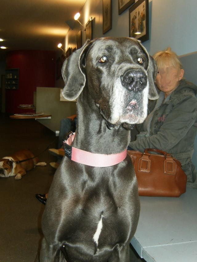 ce n'est pas un mastiff  mais un dogue allemand - Page 2 Hpim7312