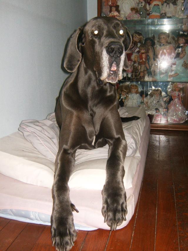 ce n'est pas un mastiff  mais un dogue allemand - Page 2 Hpim7315