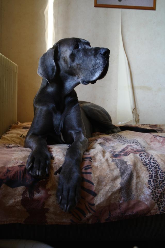 ce n'est pas un mastiff  mais un dogue allemand - Page 3 Img_7811