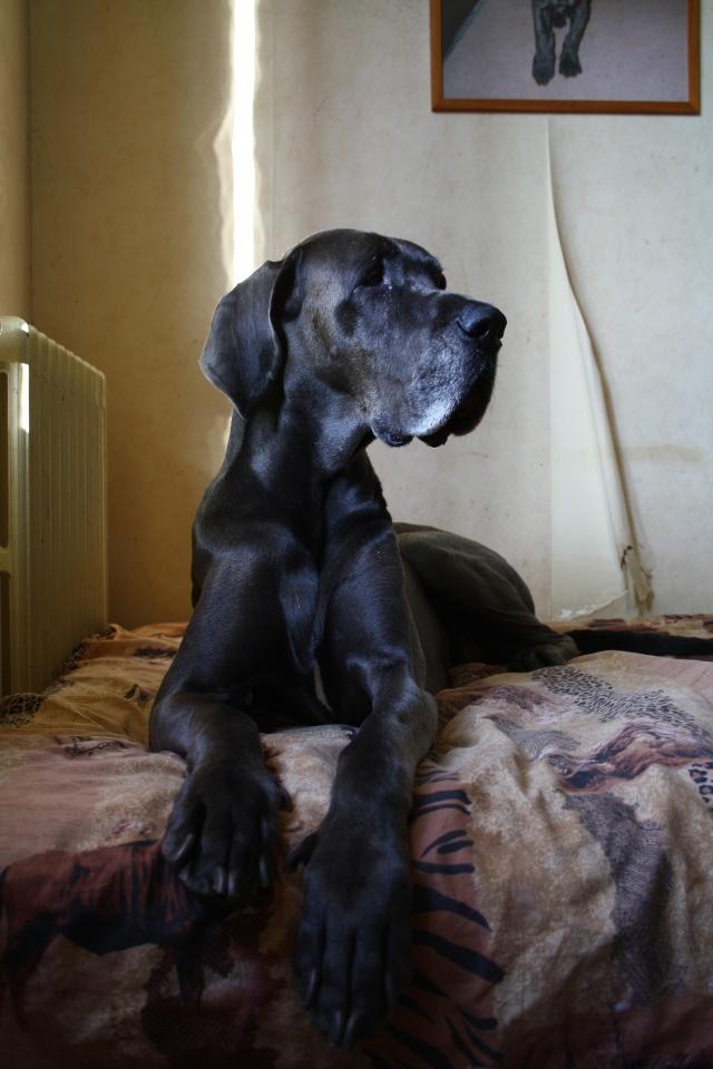 ce n'est pas un mastiff  mais un dogue allemand - Page 3 Img_7812
