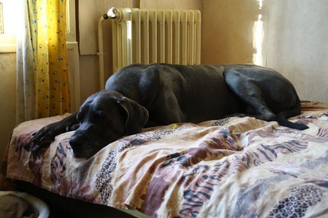 ce n'est pas un mastiff  mais un dogue allemand - Page 3 Img_7813