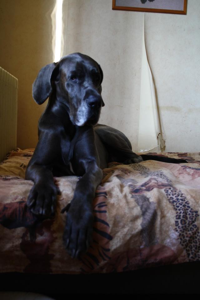 ce n'est pas un mastiff  mais un dogue allemand - Page 3 Img_7815