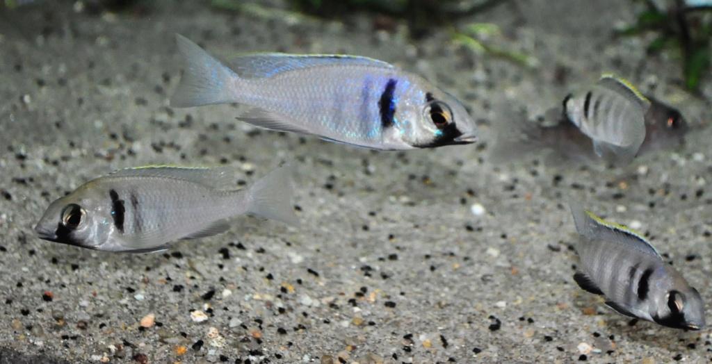 [Vends] Cichlidés Malawi Placidochromis electra Likoma [77) Groupe10