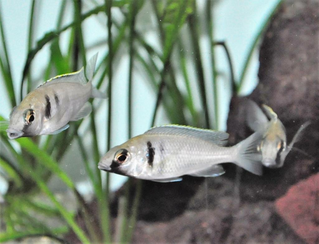 [Vends] Cichlidés Malawi Placidochromis electra Likoma [77) Placid10