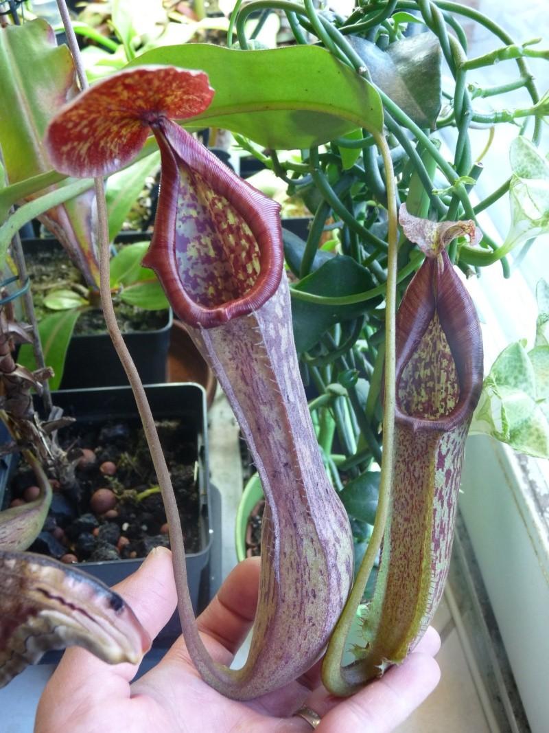 Nepenthes cultivés hors terrarium P1290210