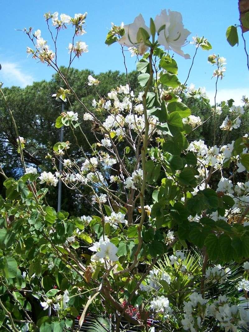 Bauhinia variegata alba A_00212
