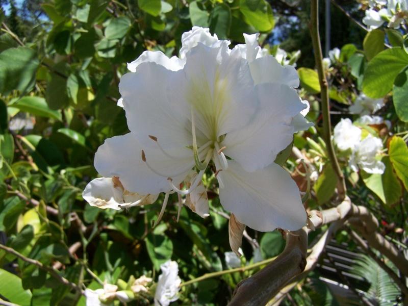 Bauhinia variegata alba A_00312