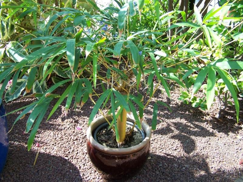 Bambusa vulgaris striata A_00410