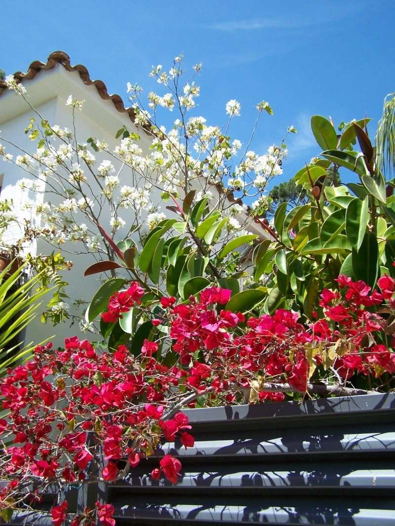 Bauhinia variegata alba A_00412