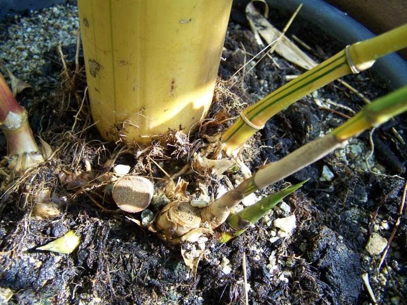 Bambusa vulgaris striata A_00610