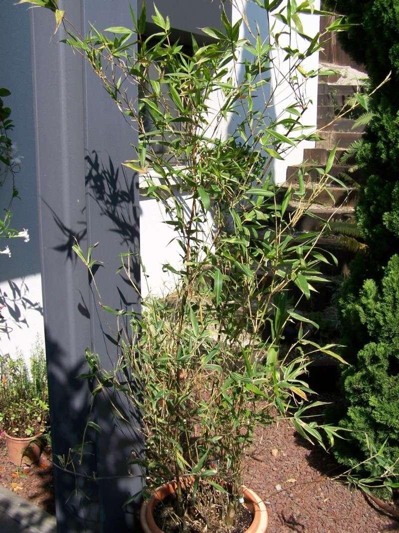 Bambusa ventricosa variegata A_00810