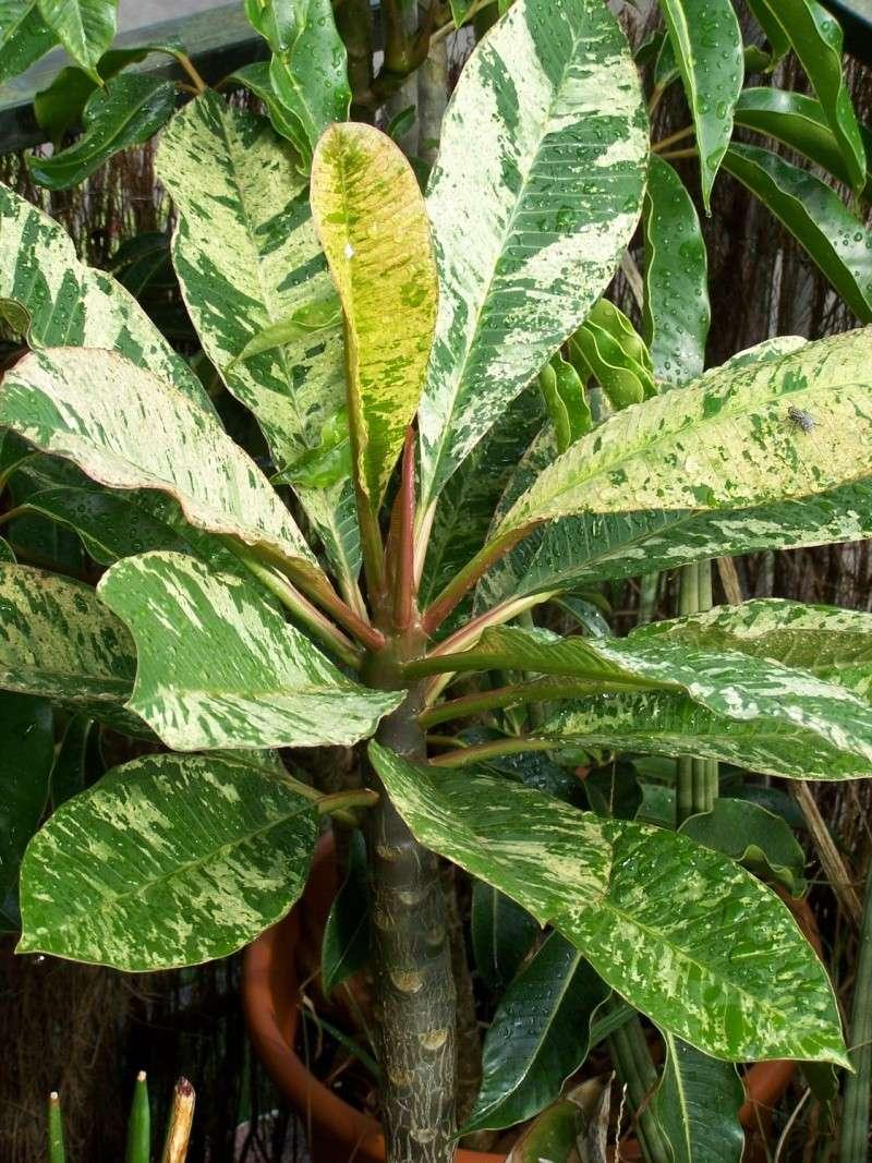 """Plumeria """"Maya"""" A_00811"""