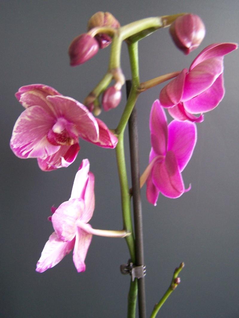 Bizarrerie sur hampe florale d'un phalaenopsis A_00812