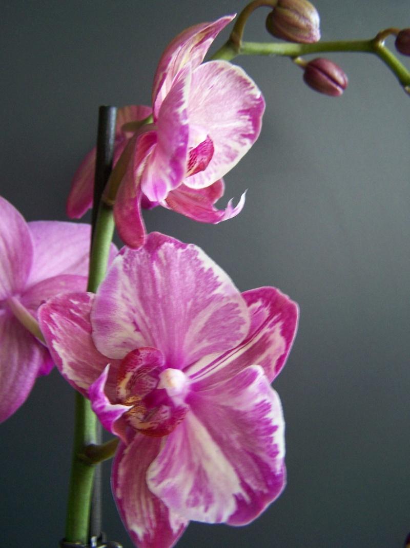 Bizarrerie sur hampe florale d'un phalaenopsis A_00912