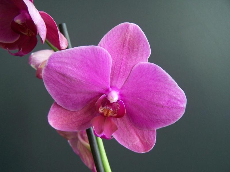 Bizarrerie sur hampe florale d'un phalaenopsis A_01010