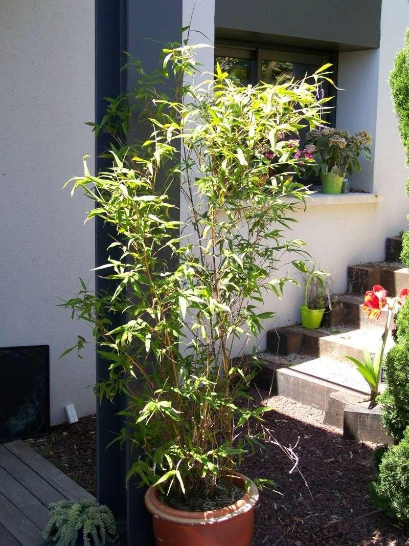 Bambusa ventricosa variegata A_01310