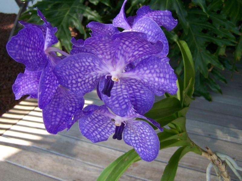 Orchidée VANDA A_01810