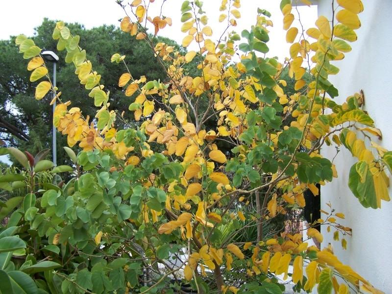 Bauhinia variegata alba Ab_00310