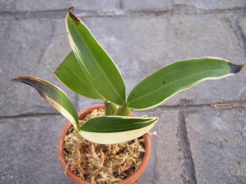Coelogyne ovalis variegata Coelog10