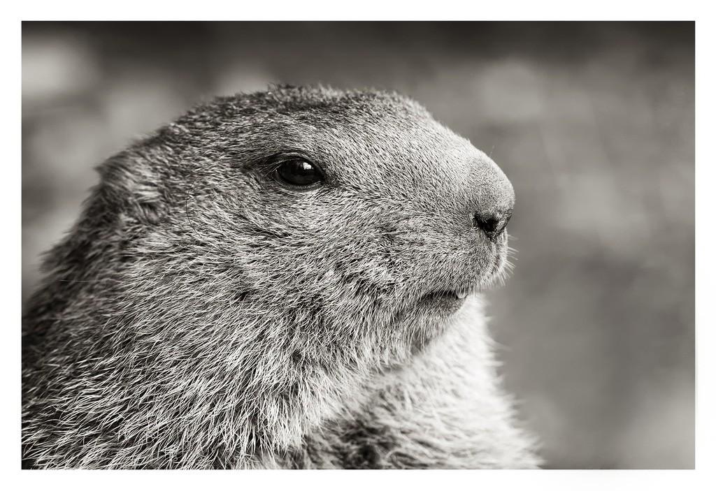 Marmotte en N&B 03102010