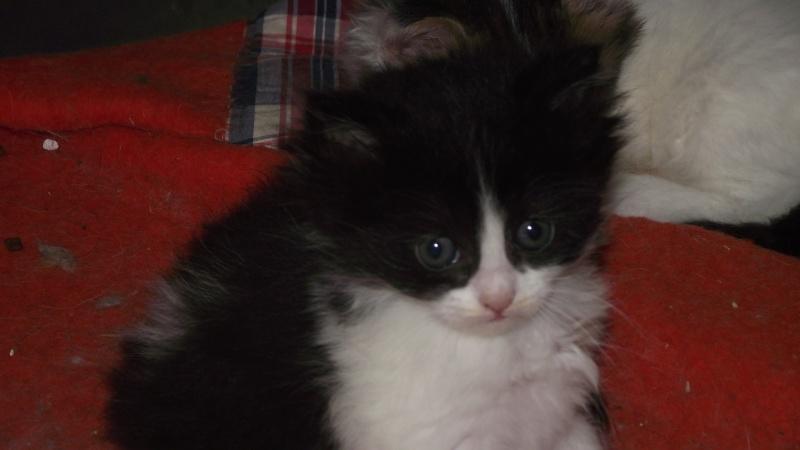chaton persan Dscf5324