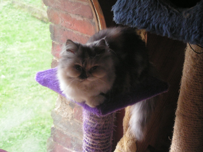 chaton persan Pict0211