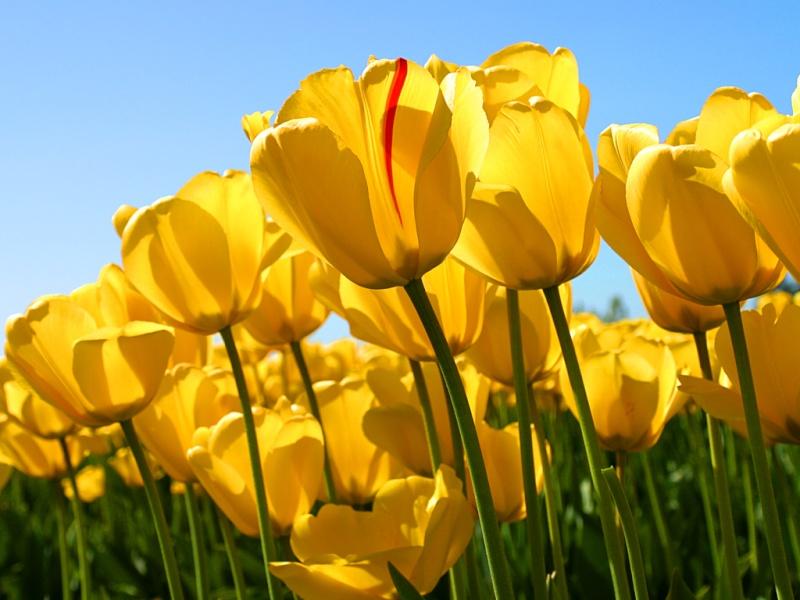 salut Tulips11