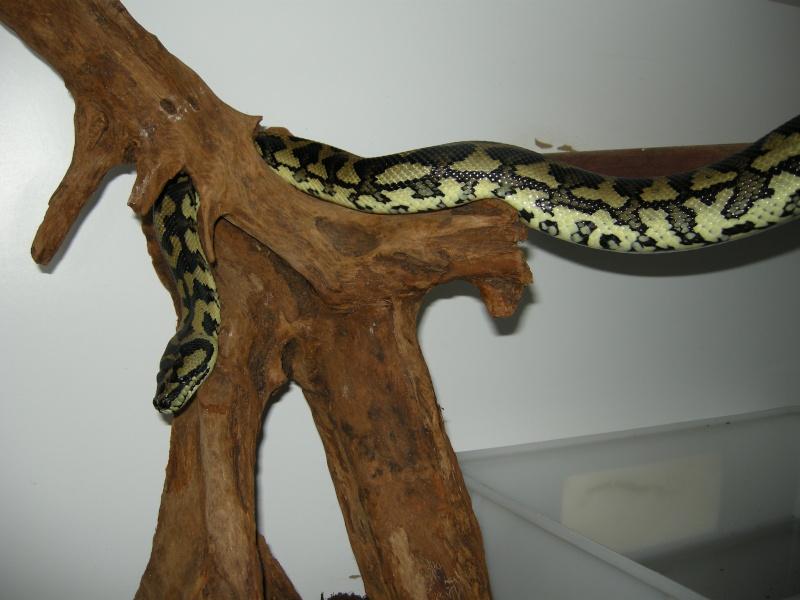 Femelle Cheynei Snake_11