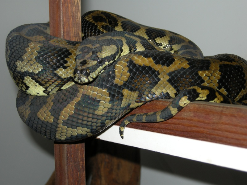 Femelle Cheynei Snake_12
