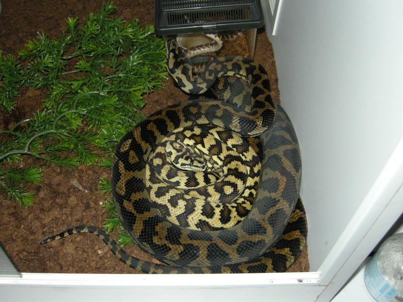 Femelle Cheynei Snake_13