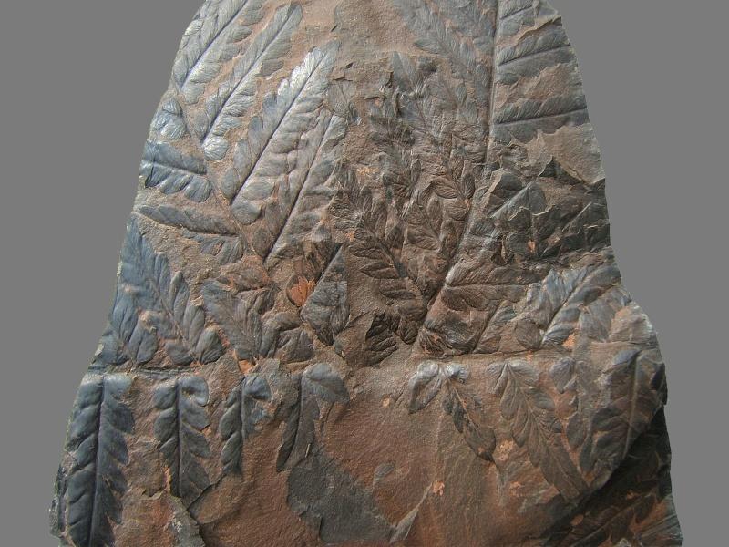 Mariopteris Zeiller , 1879. 014a10