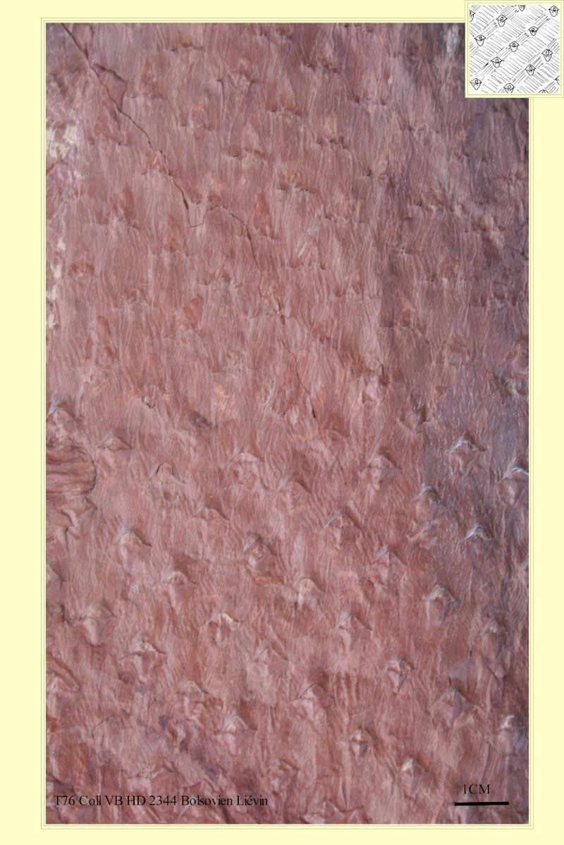 Asolanus Wood, 1860. Asolan12
