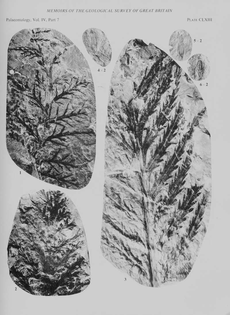 Aphlebia Presl , 1838 . File3811