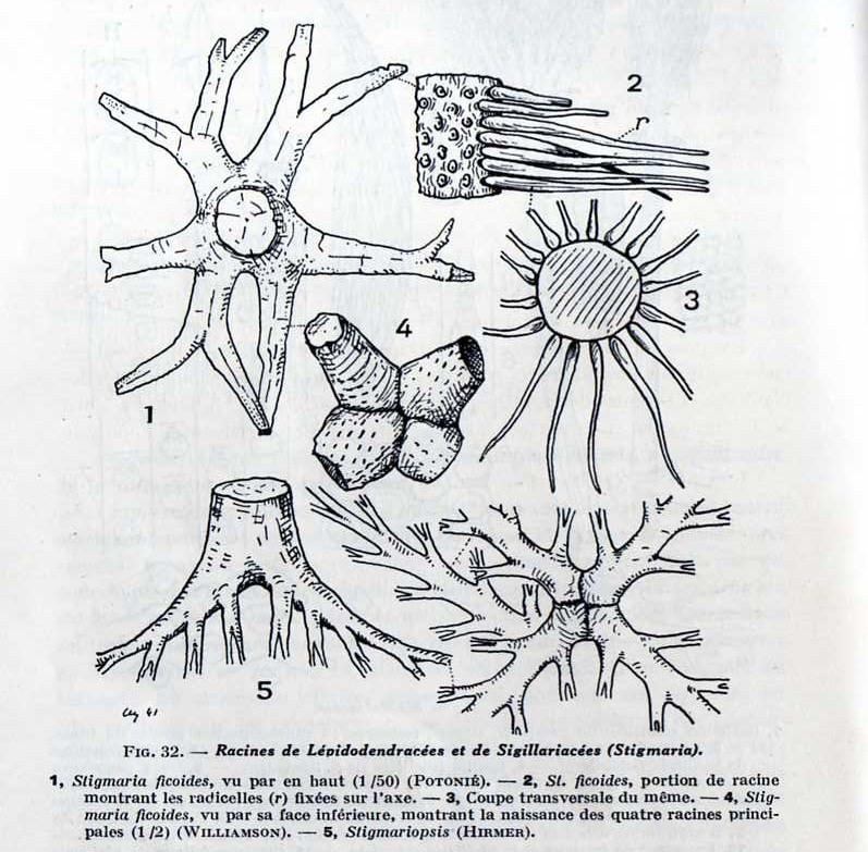 Stigmaria Brongniart , 1822 .  Img03710