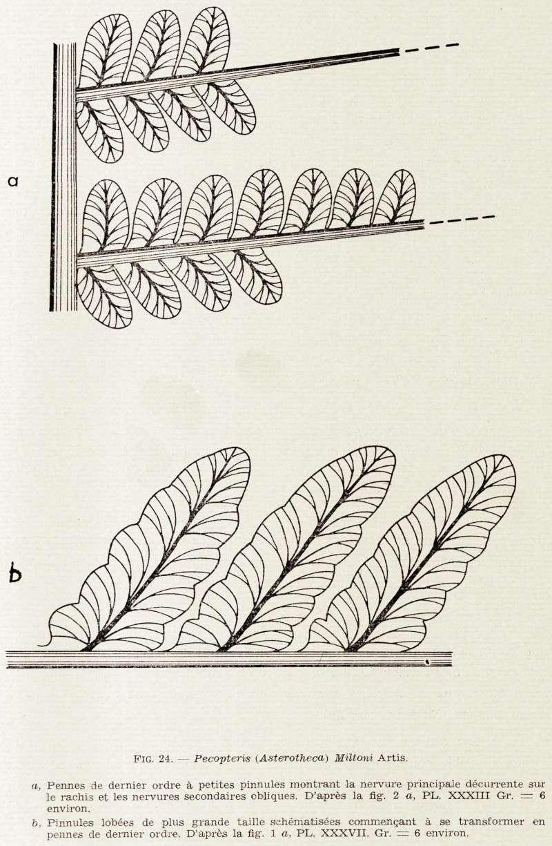 Pecopteris (Brongniart ) , Sternberg 1825. Img45010