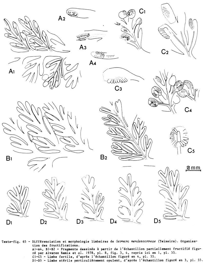 Fructifications de fougères Sphenopteridiennes  Img45910