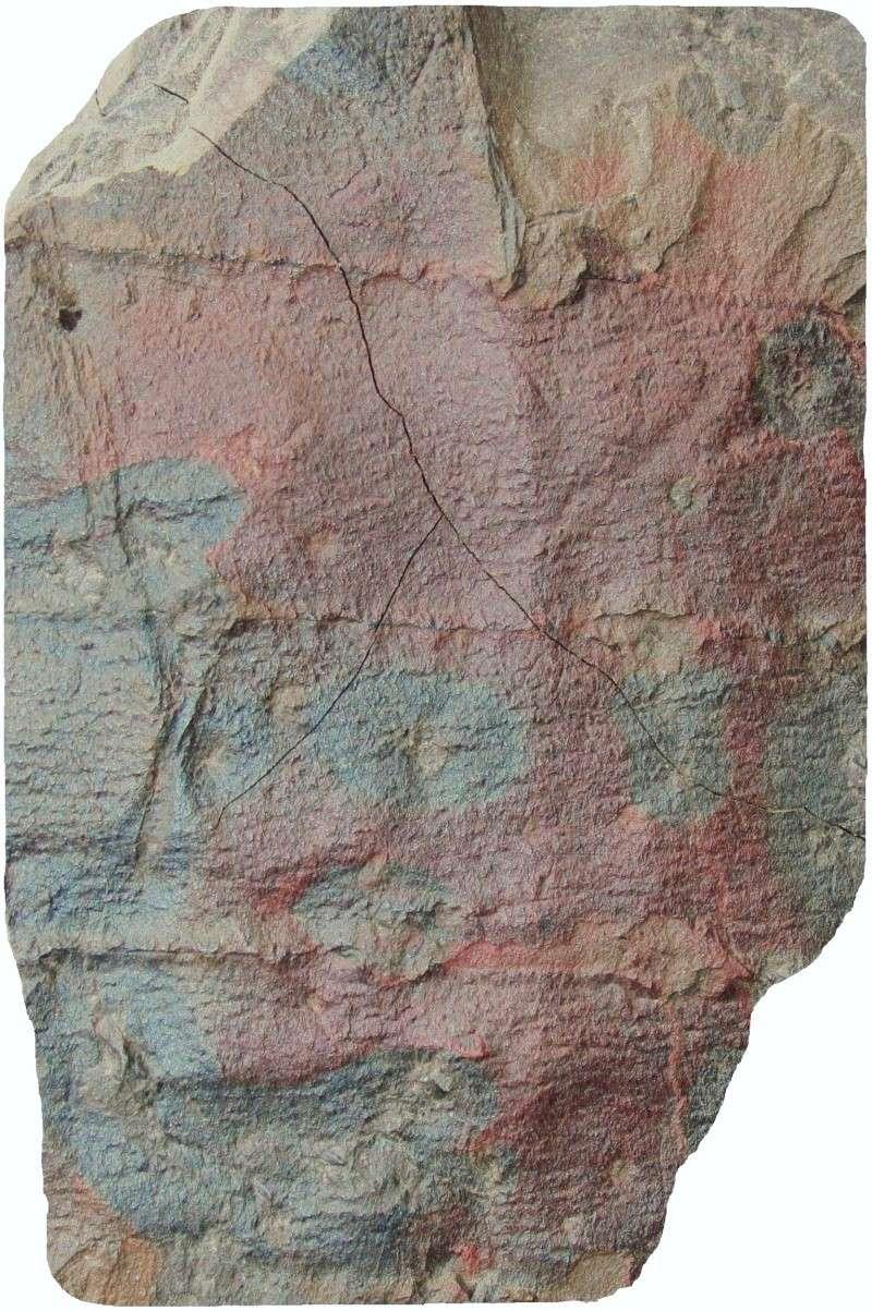 Calamites Schlotheim ,1820.  Annularia sternberg , 1822 .  Img_3813