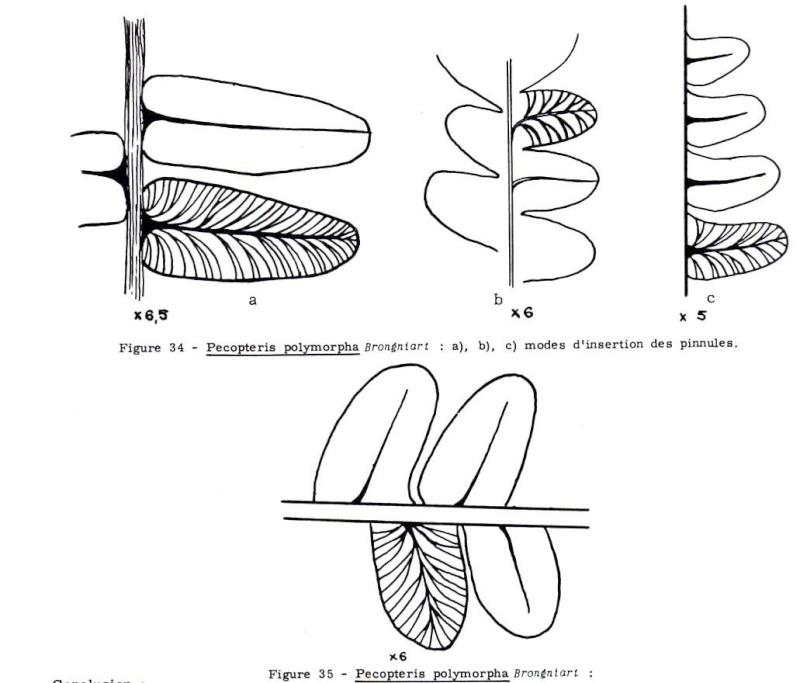 Polymorphopteris polymorpha Pecop_10