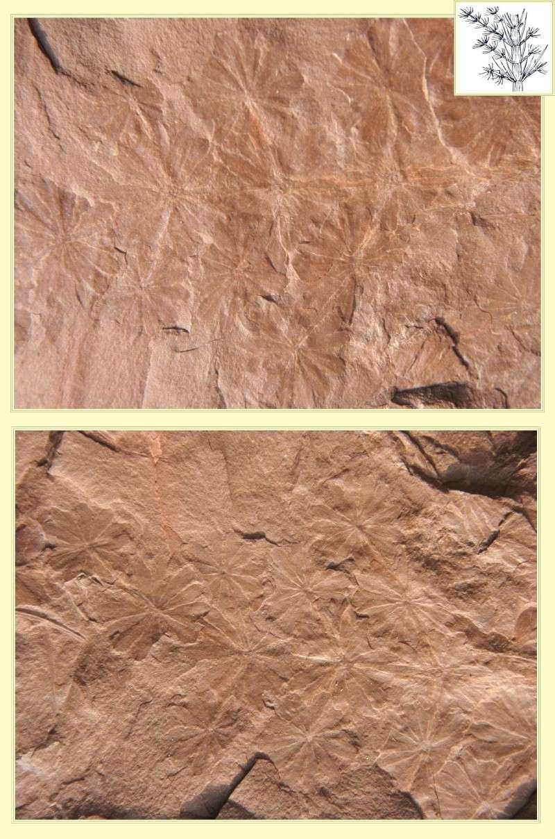 Calamites Schlotheim ,1820.  Annularia sternberg , 1822 .  Pl_ann10