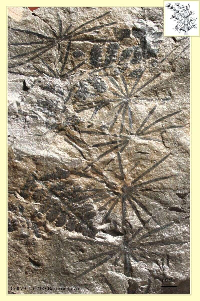Calamites Schlotheim ,1820.  Annularia sternberg , 1822 .  Pl_ann11