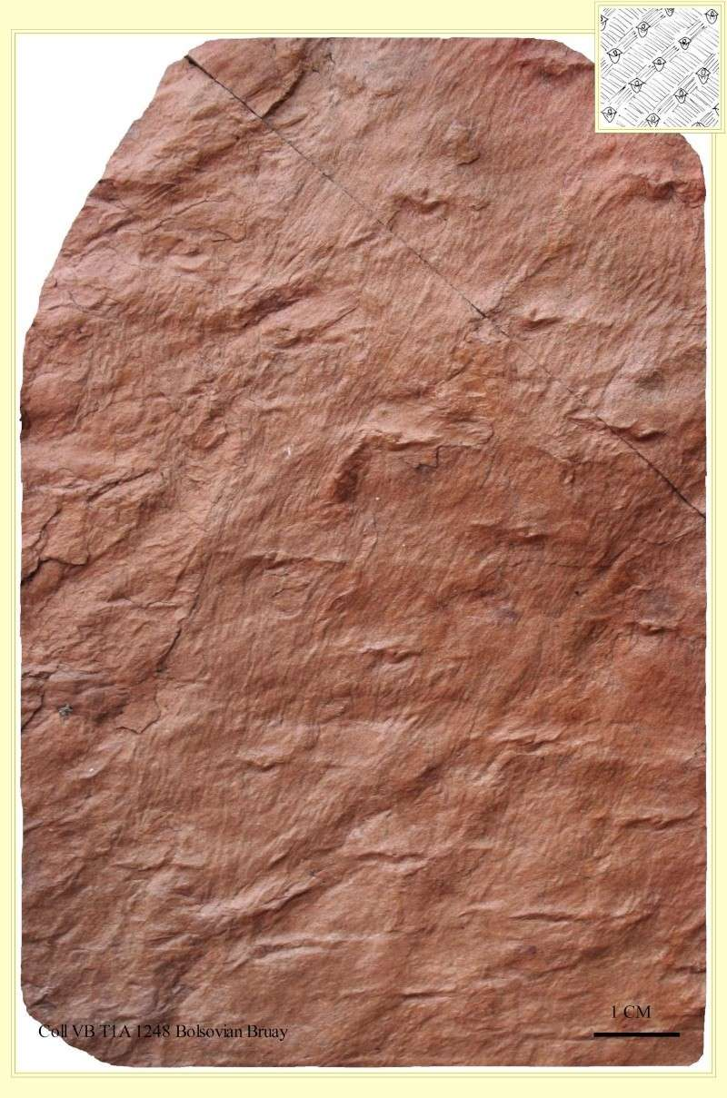 Asolanus Wood, 1860. Pl_aso10