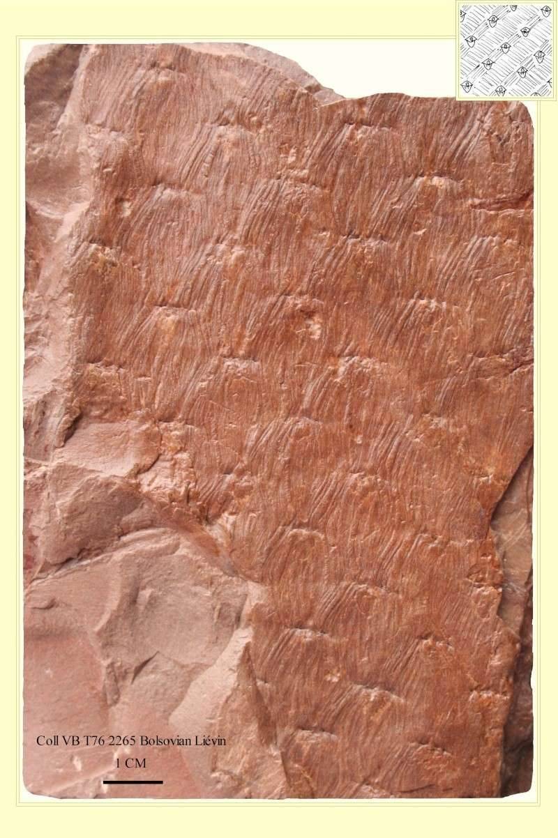 Asolanus Wood, 1860. Pl_aso11