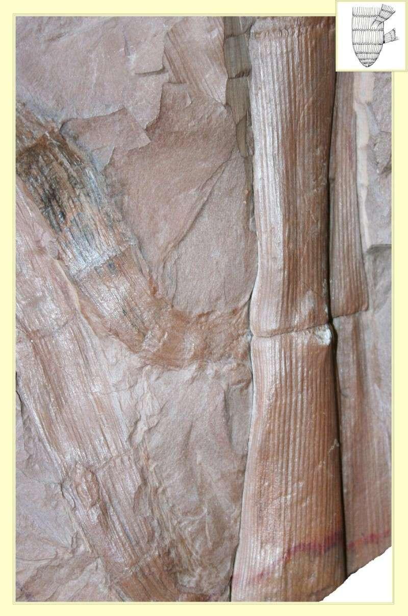 Calamites Schlotheim ,1820.  Annularia sternberg , 1822 .  Pl_cal10