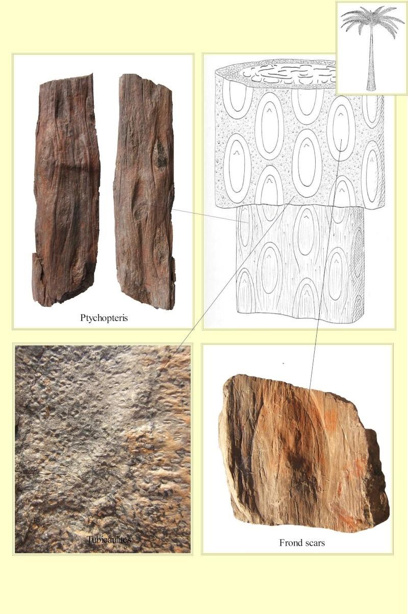 Structures et bois fossiles Pl_cau10