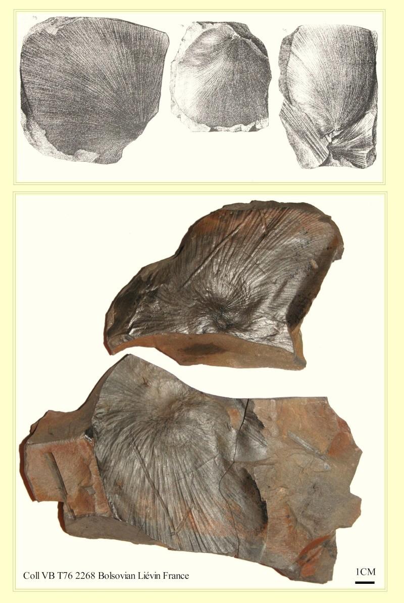 Neuropteris ovata Hoffmann . Cyclopteris Brongniart , 1830.  Pl_cyc10