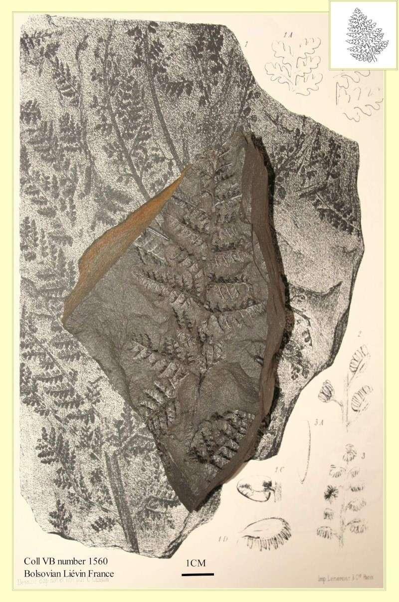 Crossotheca Zeiller , 1883.  Pl_sph12