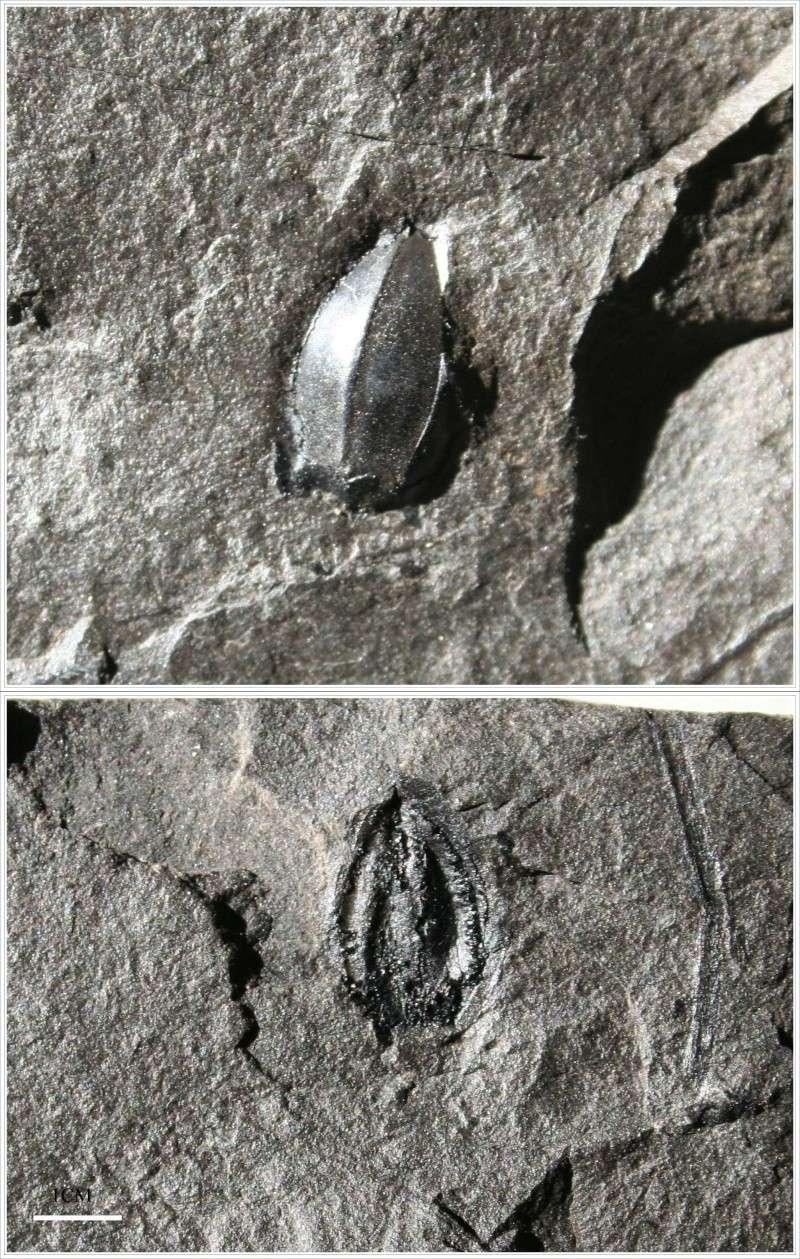 Trigonocarpus  Pachytesta  Hexagonocarpus  Seed_310