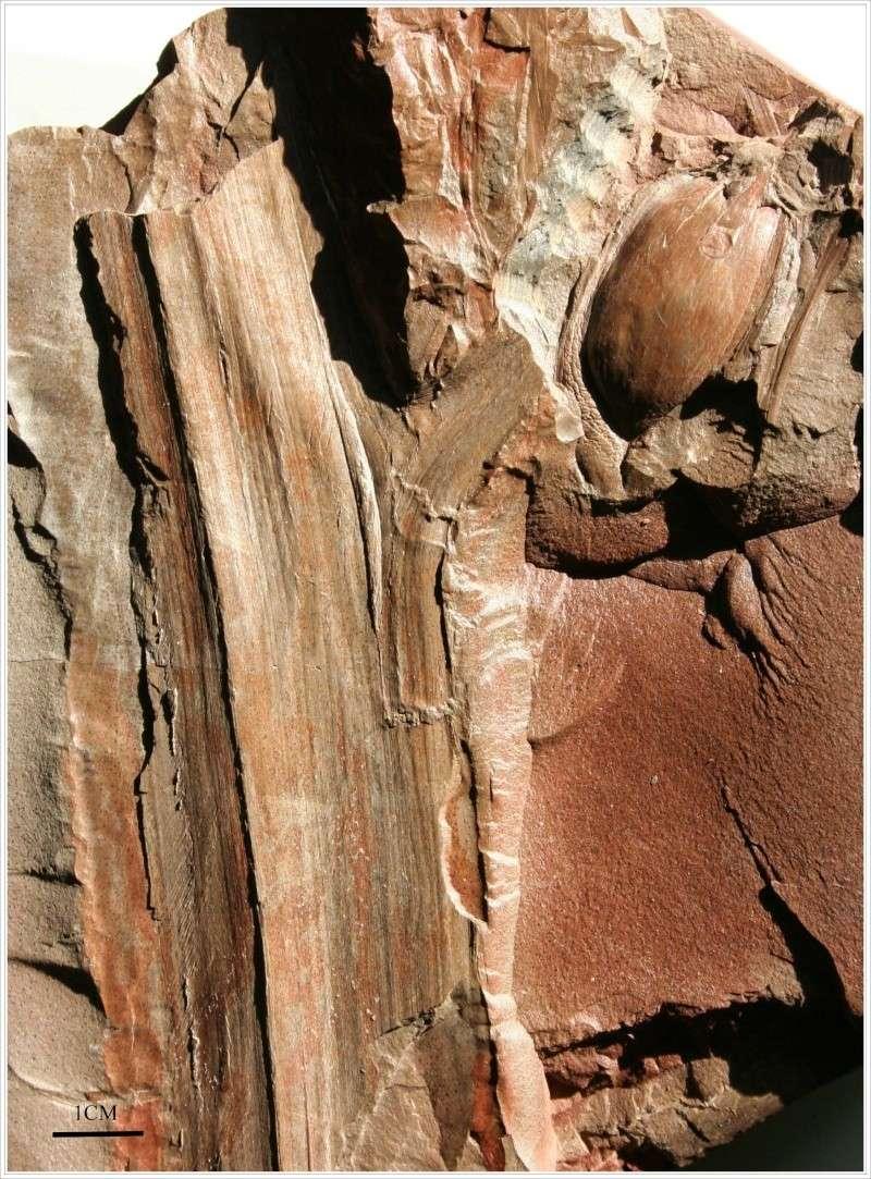 Trigonocarpus  Pachytesta  Hexagonocarpus  Seed_510