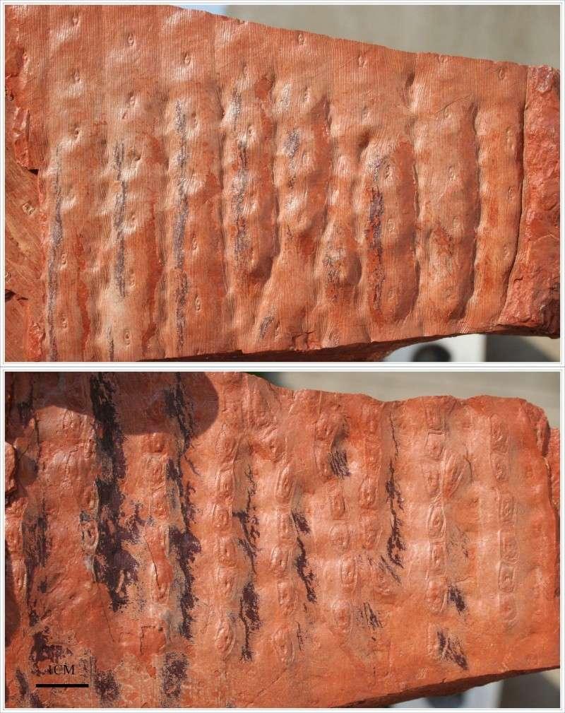 Sigillaria et zone d'insertion des sigillariostrobus Sigill15